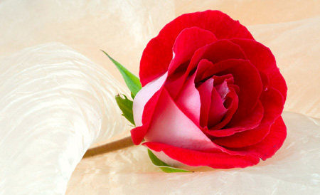 عکس گل روز برای روز معلم
